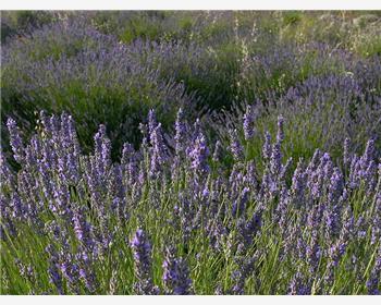 Das Lavendel Festival