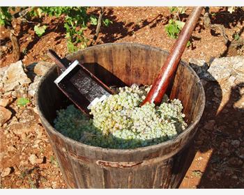 Days of Trogir grape picking